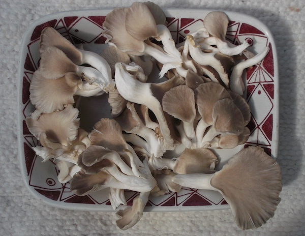 oystermushrooms.JPG