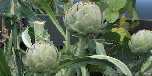Glorious artichokes