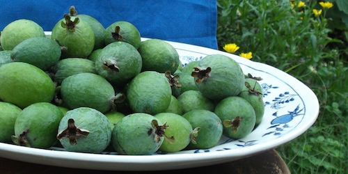 Feijoa fortnight: Green eggs