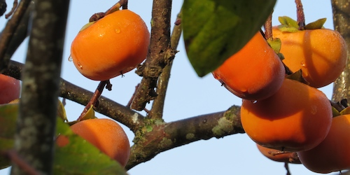 Persimmons: for people or birds?