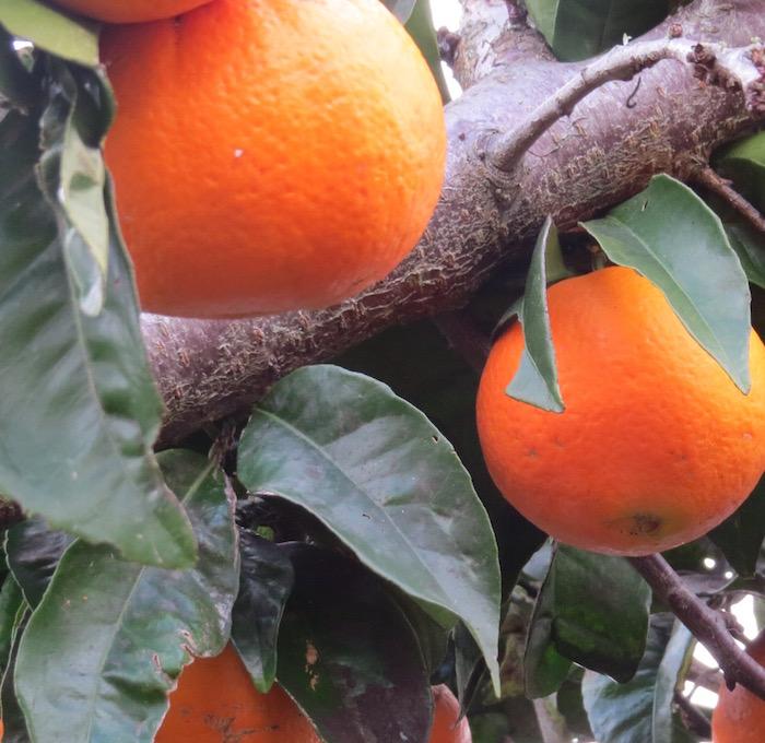 orangessq.jpg
