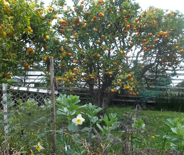 mandarin tree.jpg