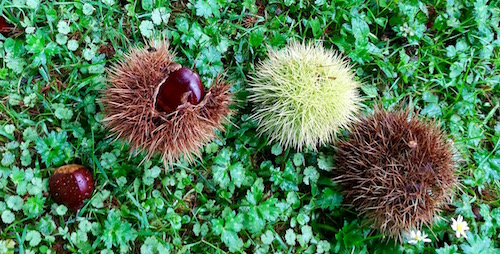 Land of chestnuts