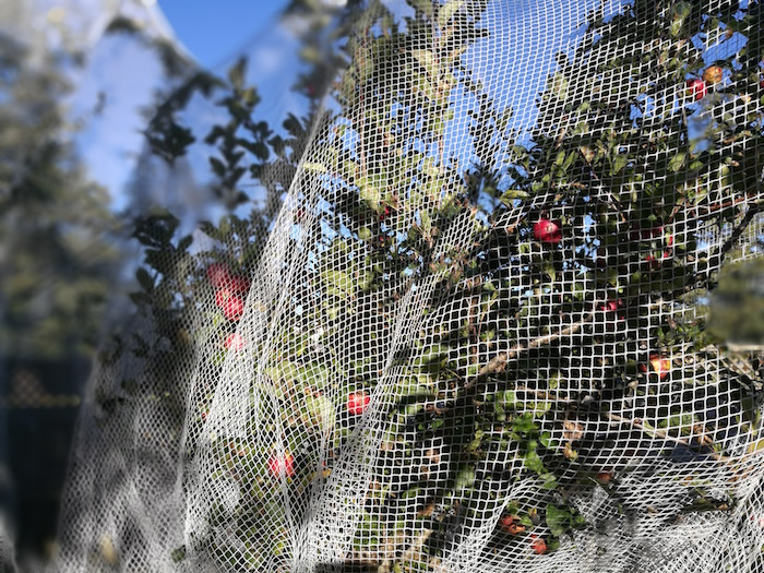 apple tree with netting