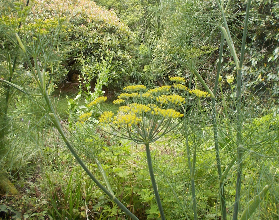 flowering fennel