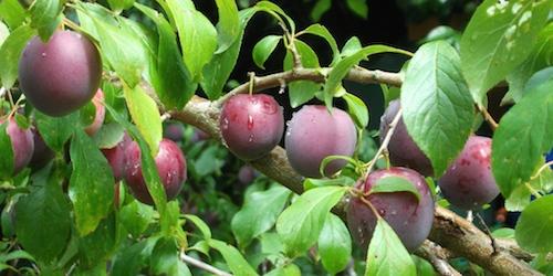 Plums, plums, plums
