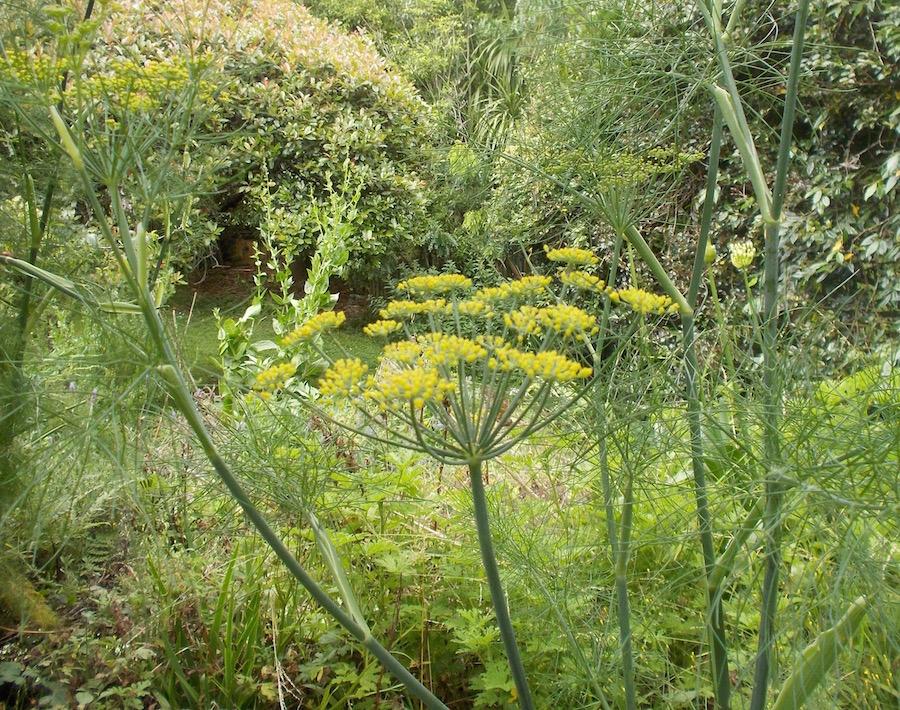 flowering fennel