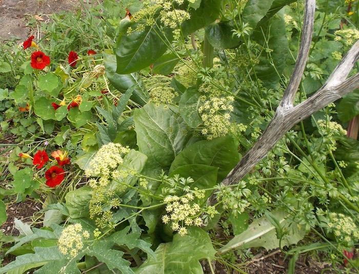 Flowering parsley