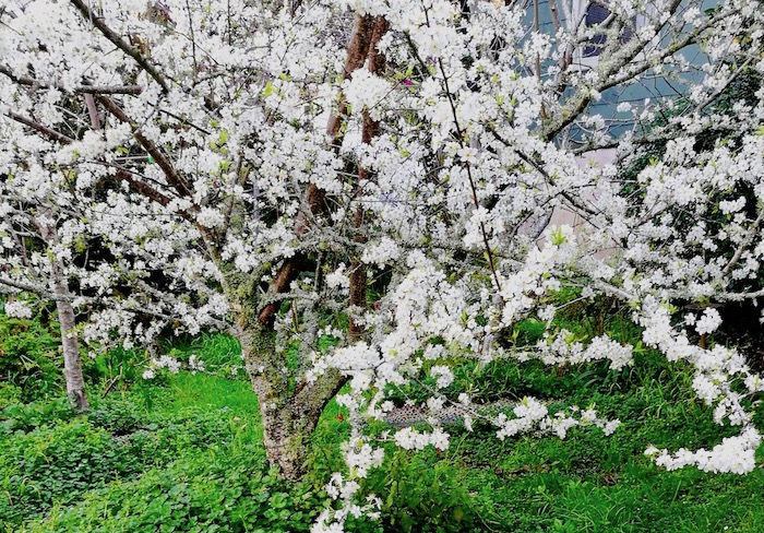 Billington plum tree with white blossom
