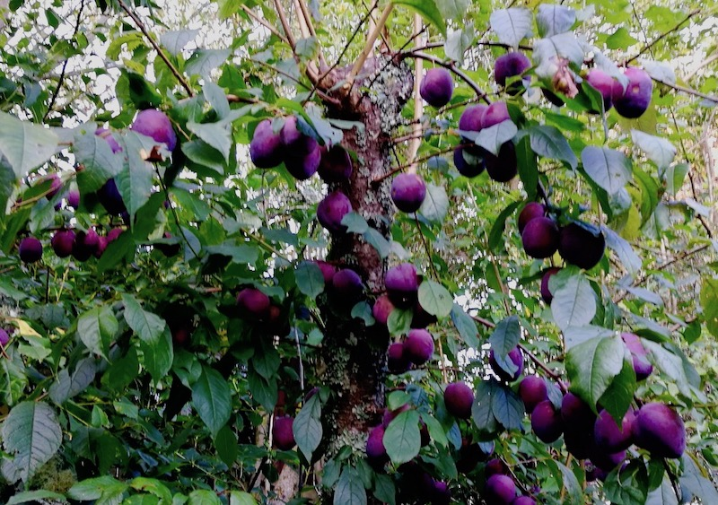 Black Doris plum tree with lots of plums