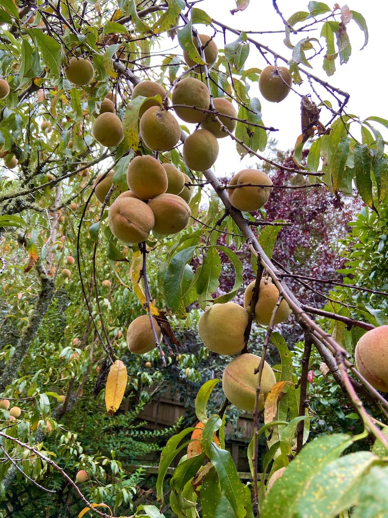 peach tree in garden